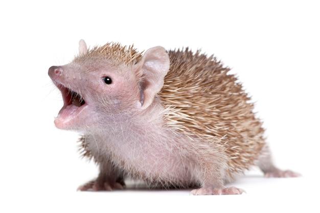 Portrait de moindre hérisson tenrec avec la bouche ouverte, echinops telfairi, sur un blanc isolé
