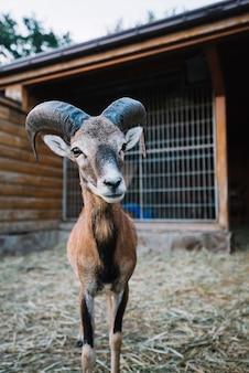 Portrait d'un mouton dans la grange