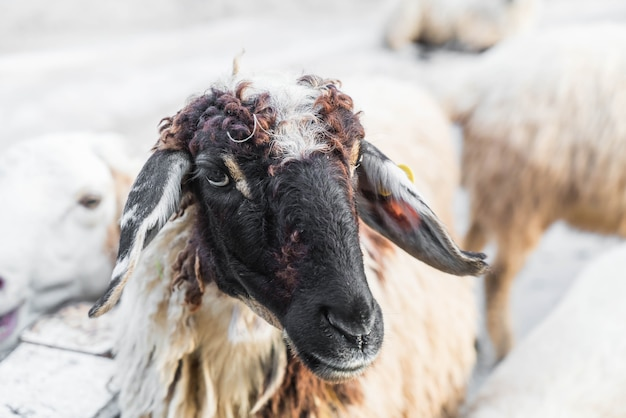 Portrait de mouton