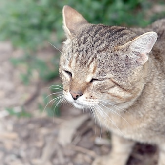 Portrait de museau triste d'un chat tigré à rayures grises aux yeux verts, selective focus