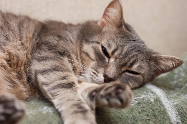 Portrait of cute dormir tabby gris chat domestique gros plan