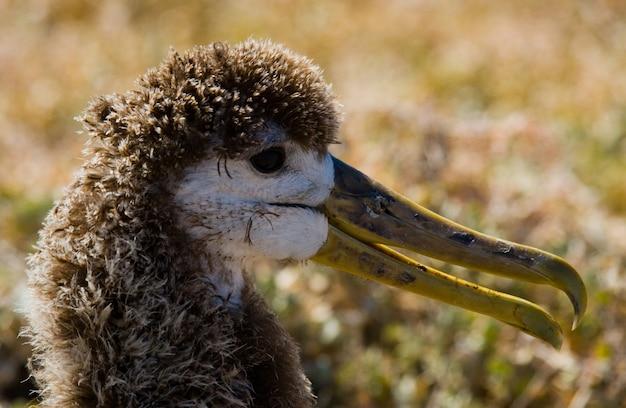 Portrait d'un oiseau albatros