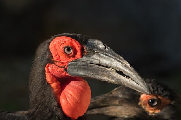 Portrait d'oiseau avec un gros sac rouge sous le bec et fond noir