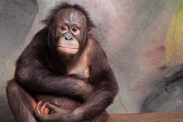 Portrait d'orang-outan (pongo pygmaeus)