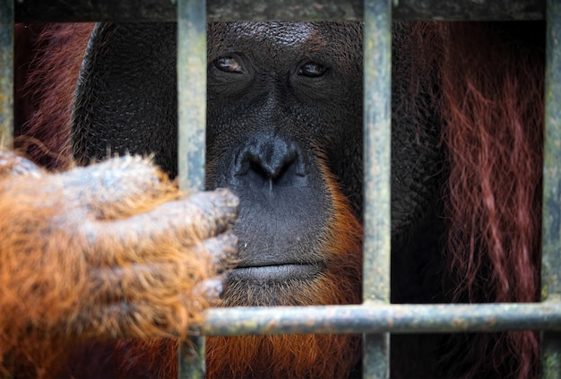 Portrait d'orangutang en cage