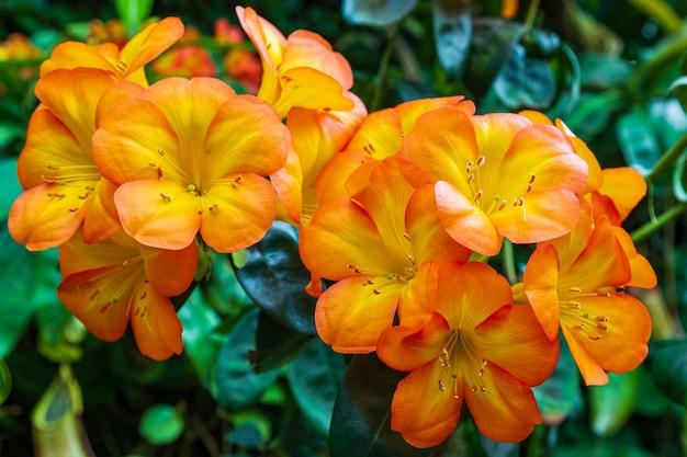 Portrait d'orchidées orange en fleurs.