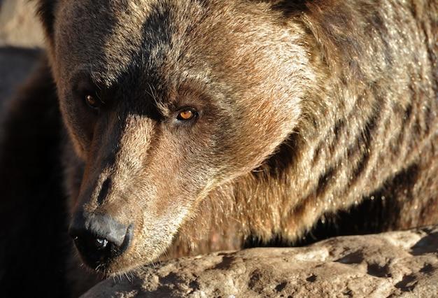 Portrait de l'ours grizzli