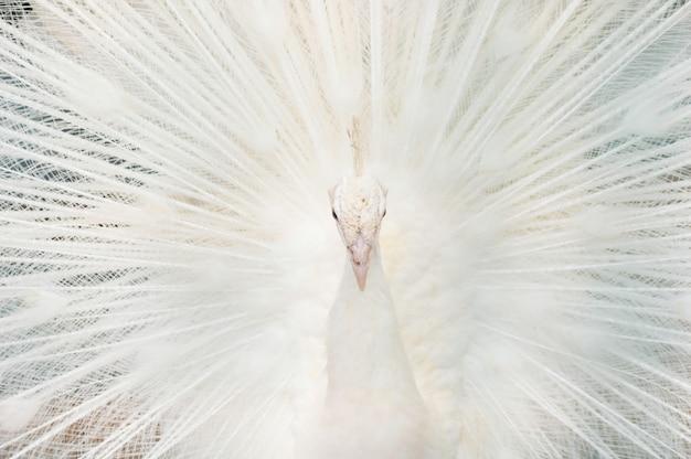 Portrait d'un paon blanc, aux plumes ouvertes, exécutant la danse nuptiale.