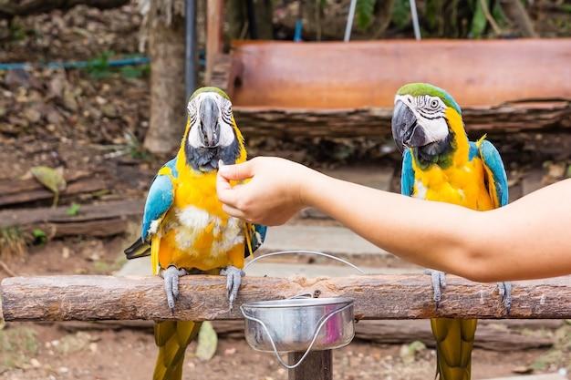 Portrait de perroquet amazone ou perroquet coloré cherche d'autres perroquets.