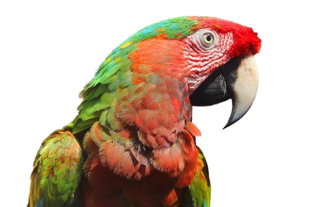 Portrait de perroquet ara coloré isolé sur fond blanc