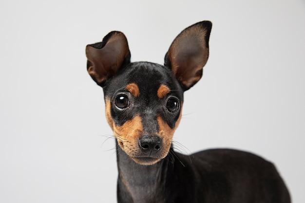 Portrait de petit chien dans un studio