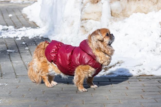 Portrait de petit chien pékinois