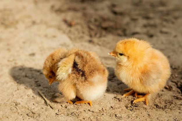 Portrait de petit poulet jaune moelleux marchant dans la cour
