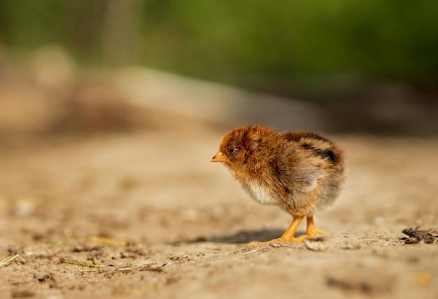 Portrait petit poulet jaune moelleux