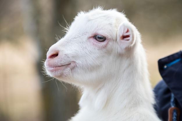 Portrait d'une petite chèvre dans les bras d'une jeune femme