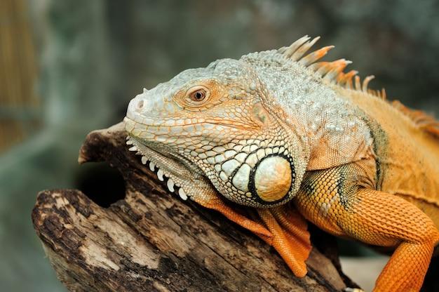 Portrait de plan macro sur la tête d'iguane