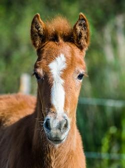 Portrait poulain cheval de camargue blanc