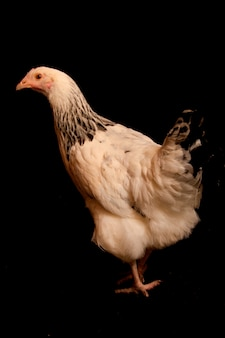Un portrait d'un poulet de spectacle, isolé sur un fond noir