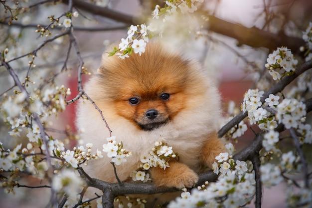 Portrait de printemps d'un chiot de poméranie