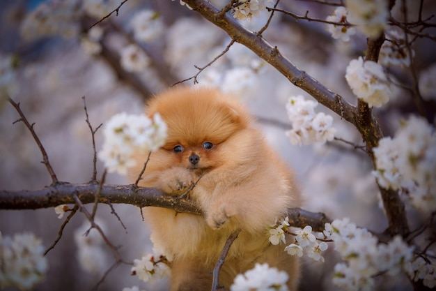 Portrait de printemps d'un mignon chiot de poméranie sur un arbre en fleurs.