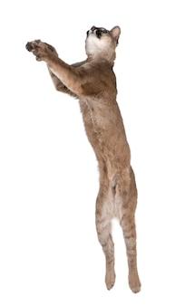 Portrait de puma cub, puma concolor, debout