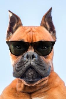 Portrait d'une race de chien boxer avec des lunettes de soleil sombres gros plan