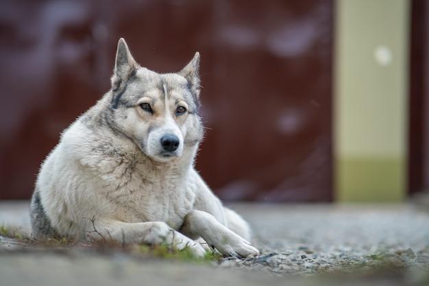 Portrait d'une race de chien laika de sibérie occidentale assis à l'extérieur dans une cour.
