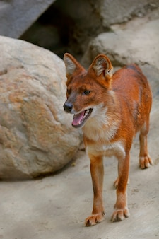 Portrait rapproché d'un renard roux