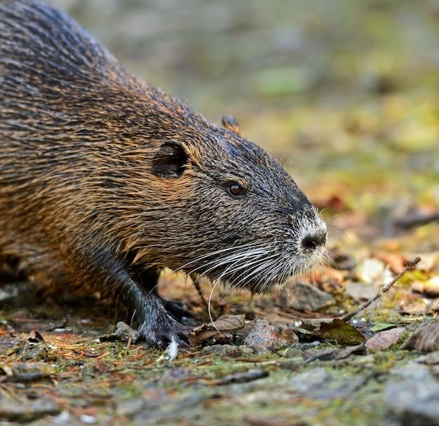 Portrait d'un rat d'eau