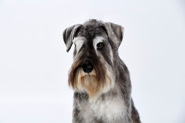 Portrait d'un schnauzer terrier