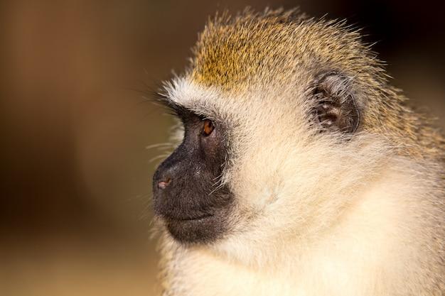Le portrait d'un singe dans la savane du kenya