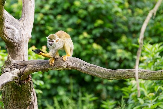 Portrait de singe écureuil saimiri sciureus assis sur une branche d'arbre