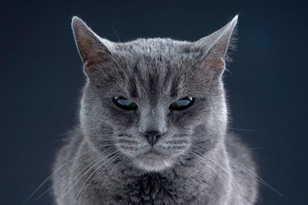 Portrait en studio d'un beau chat gris