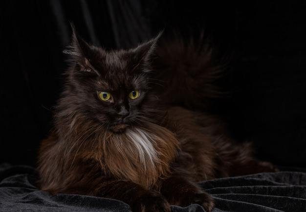 Portrait en studio d'un beau chat maine coon
