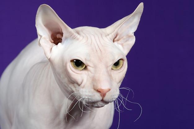 Portrait en studio de chat sphynx