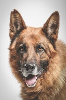 Portrait en studio d'un chien de berger allemand expressif sur fond neutre