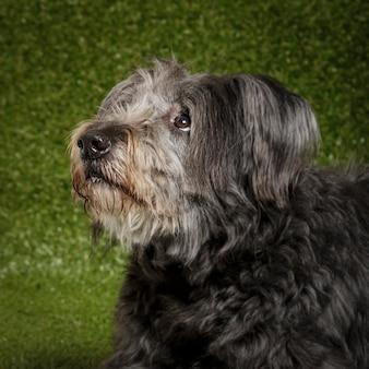 Portrait en studio d'un chien de berger catalan expressif appelé gos d'atura sur fond vert