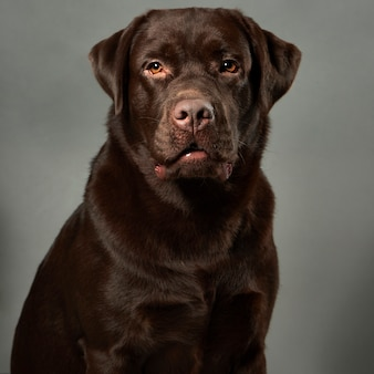 Portrait de studio labrador retriever