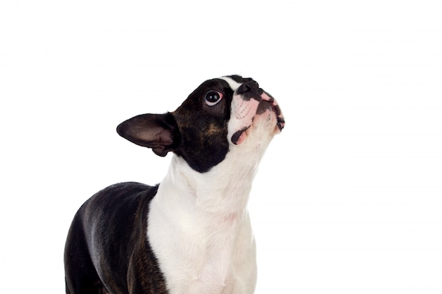 Portrait en studio d'un mignon boston terrier
