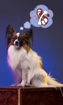 Portrait en studio d'un petit chiot béant chien papillon sur fond bleu studio. concept de rêves de chien
