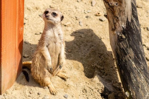 Portrait de suricata suricata