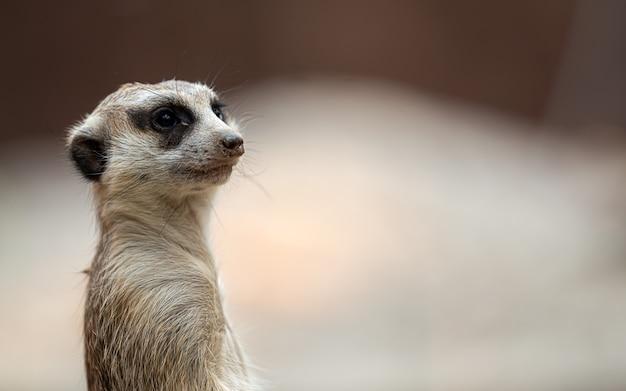Portrait d'un suricate debout