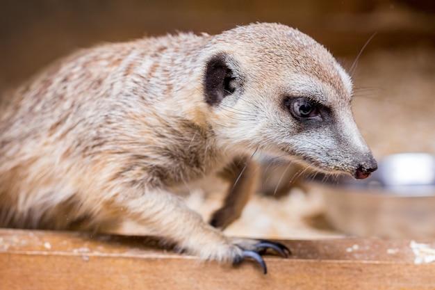Portrait d'un suricate gros plan sur un arrière-plan flou brun foncé_
