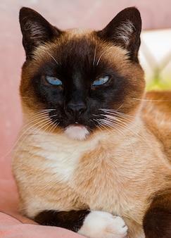 Portrait tête de chat siamois tricolore