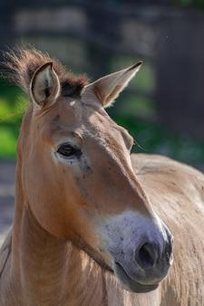 Portrait de tête de cheval de przewalski (equus ferus przewalskii)