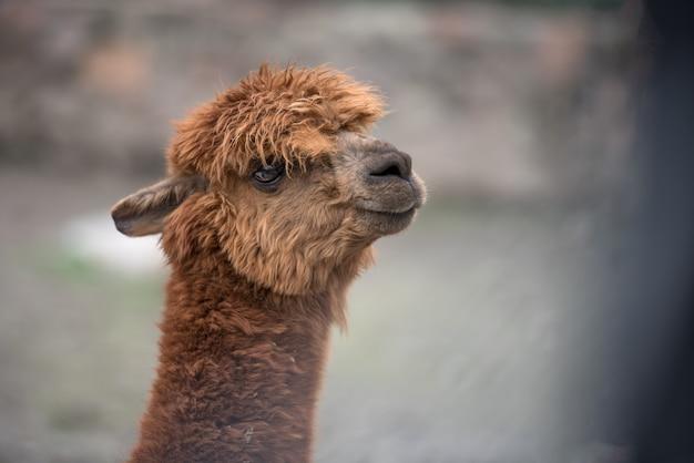 Portrait de tête de lama bébé