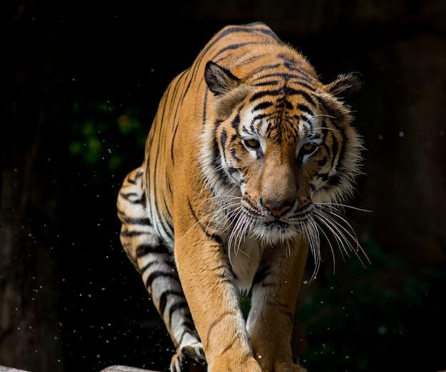 Portrait de tigre devant fond noir
