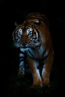 Portrait de tigre du bengale en forêt