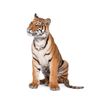 Portrait de tigre du bengale, panthera tigris tigris, assis
