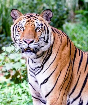 Portrait de tigres de l'amour